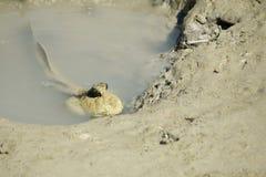 Портрет гигантского шкипера грязи стоковое изображение