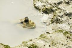Портрет гигантского Mudskipper стоковые фото