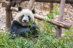 Портрет гигантской панды есть бамбук стоковое фото rf