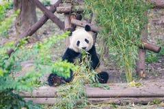 Портрет гигантской панды есть бамбук стоковое фото