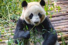 Портрет гигантской панды есть бамбук стоковое изображение rf