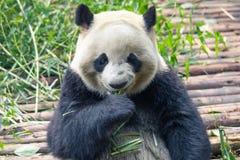 Портрет гигантской панды есть бамбук стоковые изображения
