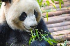 Портрет гигантской панды есть бамбук стоковые фото