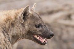 Портрет гиены Стоковая Фотография RF