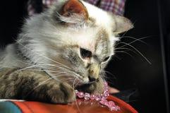 Портрет гималайского кота Стоковая Фотография