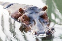 Портрет гиппопотама в воде Стоковое Фото