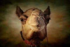 Портрет головы верблюда в Pushkar Стоковые Фотографии RF
