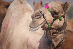 Портрет головы верблюда в Pushkar Стоковые Фото