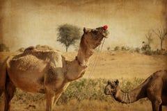 Портрет головы верблюда в Pushkar Стоковые Изображения