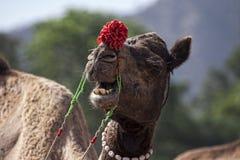 Портрет головы верблюда в Pushkar Стоковое фото RF