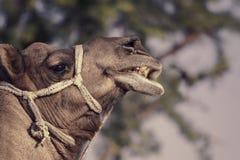 Портрет головы верблюда в Pushkar Стоковая Фотография RF