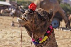 Портрет головы верблюда в Pushkar Стоковые Изображения RF