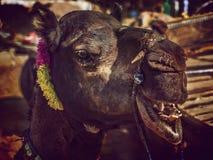 Портрет головы верблюда в Pushkar Стоковое Изображение