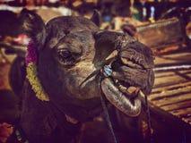 Портрет головы верблюда в Pushkar Стоковое Фото