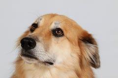 Портрет головы собаки чабана смешанный в студии стоковая фотография