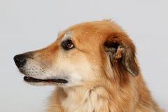 Портрет головы собаки чабана смешанный в студии стоковое изображение