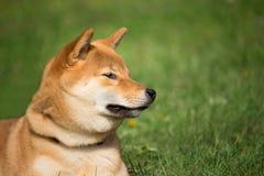 Портрет головы японского inu shiba собаки лежа в лужайке Стоковое фото RF