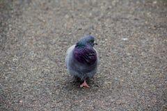 Портрет голубя в парке Стоковые Фото