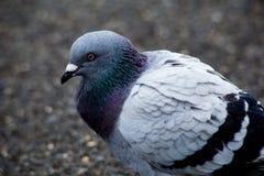 Портрет голубя в парке 4 Стоковые Изображения RF