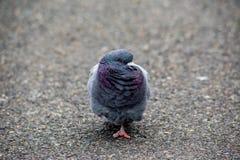 Портрет голубя в парке 2 Стоковые Изображения