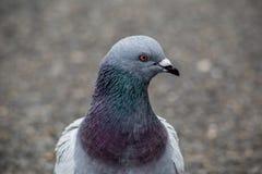 Портрет голубя в парке 3 Стоковое фото RF