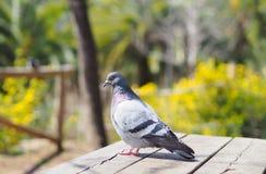 Портрет голубя Голубь стоя на таблице Стоковое Изображение