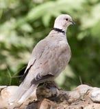 Портрет голубя на природе Стоковое Фото
