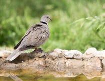 Портрет голубя на природе Стоковое фото RF