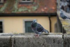 Портрет голубя Стоковые Изображения