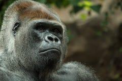 Портрет гориллы близкий поднимающий вверх Стоковая Фотография RF