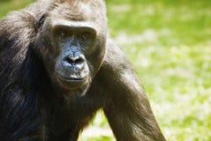 Портрет гориллы выразительный Стоковое Фото