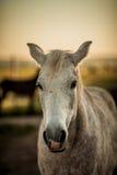Головка лошади Стоковые Изображения