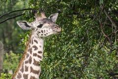 Портрет головы жирафа на саванне в Masai Mara Стоковая Фотография