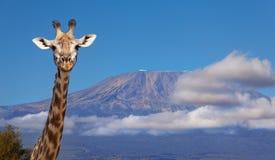 Портрет головы жирафа против держателя Килиманджаро Стоковое Изображение RF