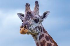 Портрет головы жирафа Masai Стоковое Изображение