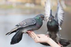 Портрет 2 голубей Стоковые Изображения RF