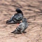 Портрет 2 голубей Стоковые Фото