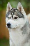 Портрет голубых глазов собаки сибирской лайки стоковое фото rf