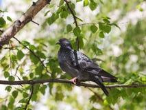Портрет голубя в профиле Стоковая Фотография RF