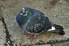 Портрет голубя или голубя Стоковое Изображение RF