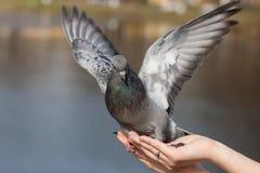 Портрет голубя на ладони Стоковое Изображение