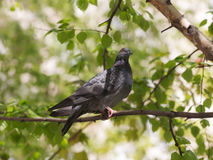 Портрет голубя на дереве Стоковые Изображения RF