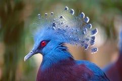 Портрет голубя увенчанного Викторией стоковая фотография