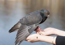 Портрет голубя Стоковые Фотографии RF
