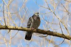 Портрет голубя Стоковые Фото