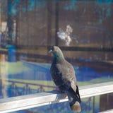 Портрет голубя Стоковая Фотография