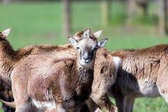 Портрет группы в составе mouflons Стоковое фото RF