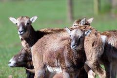Портрет группы в составе mouflons Стоковое Изображение