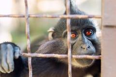 Портрет грустного дикого mokey безвыходно смотря через клетку металла Проарретированная обезьяна с выражением отчаяния подавленны стоковое фото rf