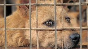 Портрет грустной смешанной собаки породы за загородками Собака в укрытии или животном питомнике Укрытие для концепции животных акции видеоматериалы
